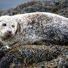 grey seal sligo